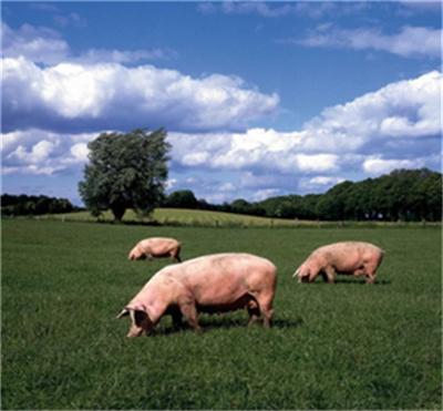 养猪网3月27日最新生猪、仔猪、饲料价格报价