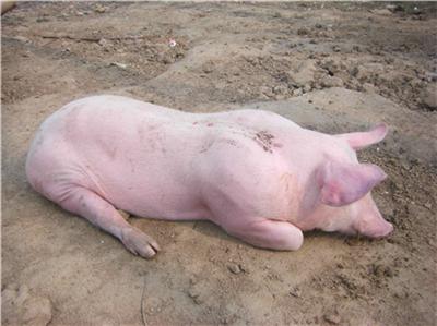 2020年04月08日猪价——最新生猪价格【保力胺• 特约报价】