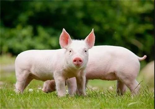4月22日猪价——最新生猪、仔猪价格报价【连跌5天】