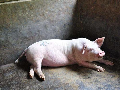 5月7日猪价:23省猪价下跌,最大跌幅近1元!